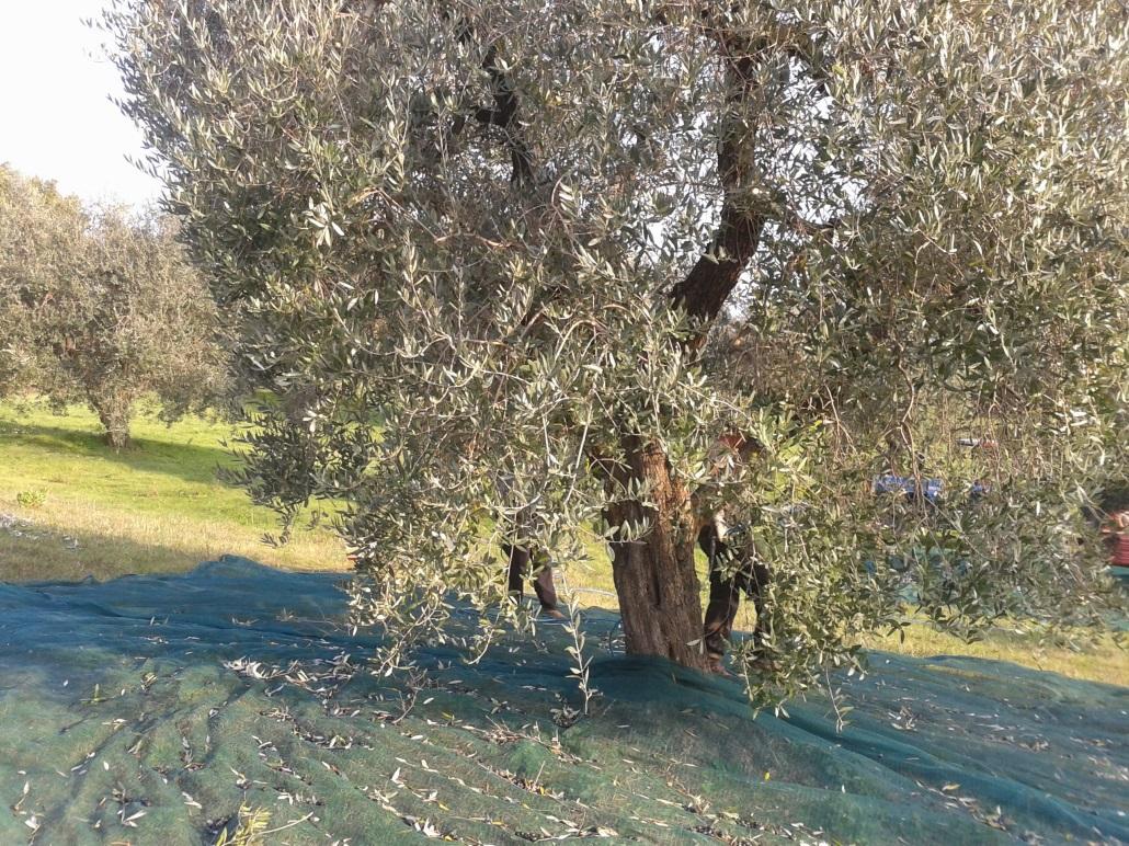 albero-olivo-toscana