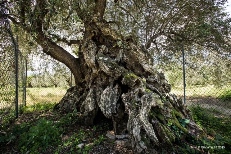 olivo-secolare-strega-toscana