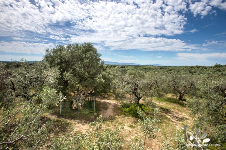 olivo-strega-magliano-in-toscana