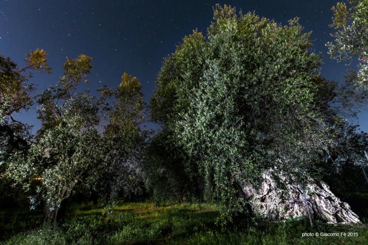olivo-strega-toscana-maremma