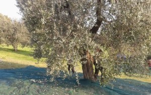 L'Olio di oliva in Maremma