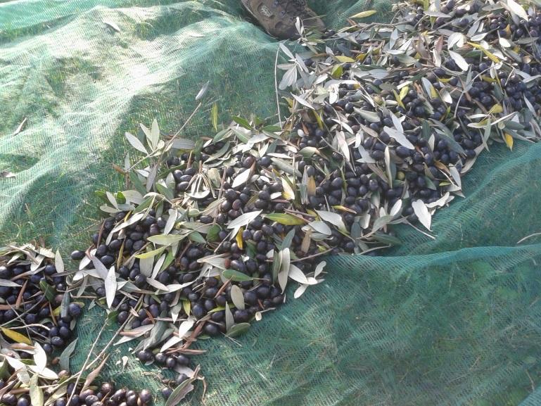 raccolta-olive-maremma-toscana