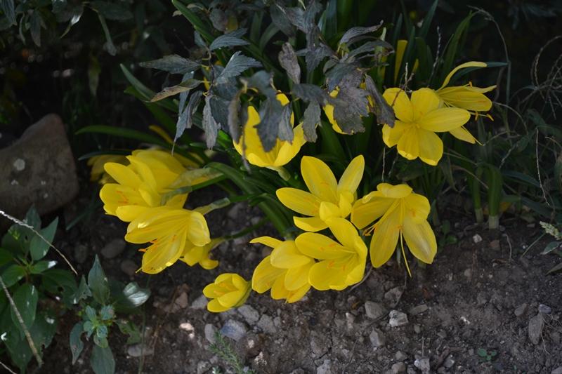 crochi-gialli-bosco-tirli-toscana