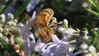 Bees in Maremma Tuscany